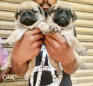Pug male puppies available all breeds top quality