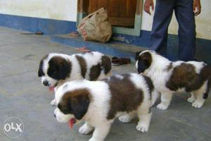 Saint bernald puppies ready for new home