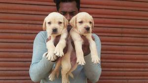 Super quality Labrador puppy for sell
