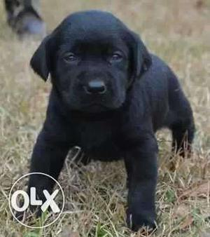 100% Pure Breed Superb Quality Labrador Puppies &