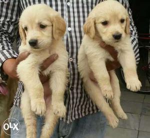 Golden retriever puppies male  Female