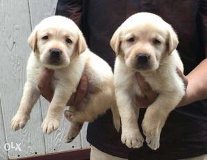 Labradore cream colour Puppies available pure