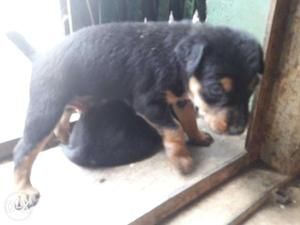 Male rottweiler cross breed available in kallakurichi