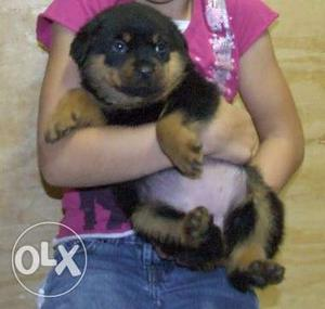 Show  quality Rottweiler puppy available B