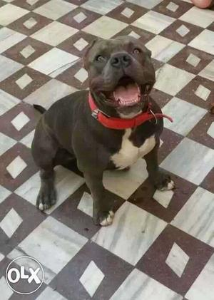 American Pitbull bully only for matting not for