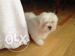 LHASA APSO White Colour FEMALE Puppies available Pure Breed