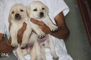 Labrador's fawn colored puppie sell All Breeds