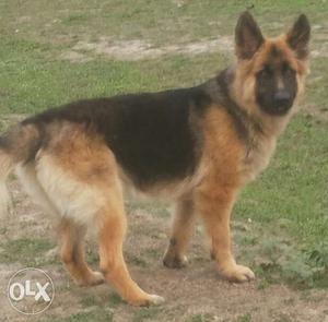 Quality guarantee pups with good health and