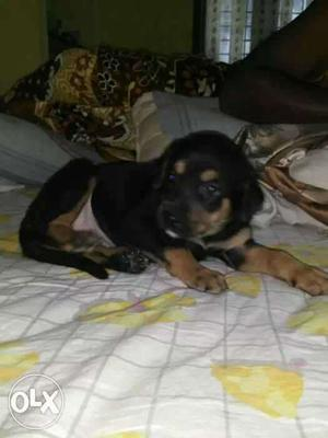 Rottweiler puppy for sales