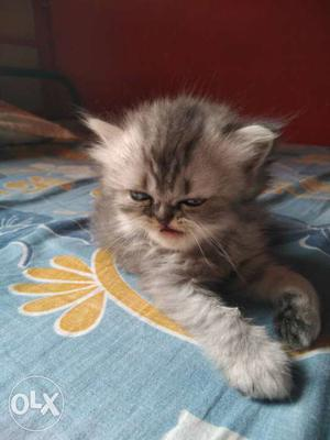 All types of persian cat n kittens r available