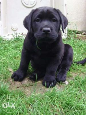Labrador Bigs Female *\\D*and male pups best price in jaipur
