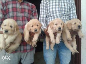 OO5 Golden Retriever puppies 35 days old pure breed