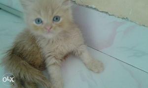 3 kittens available per kitten