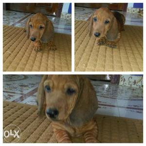 3 months old male dash puppies for sale...