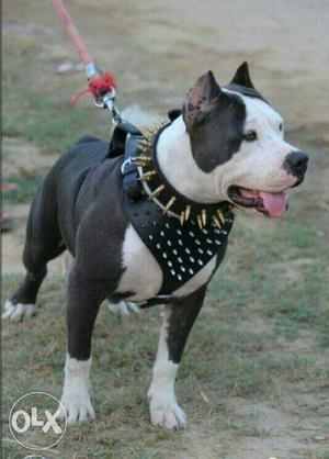 Xxl American Bully Son Of Sultan Kurali Age 18 Posot Class