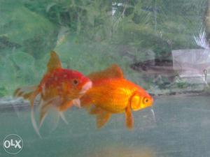 Baby molly fish for sale mumbai posot class for Molly fish for sale