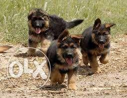 Double coat german shepherd pupps at sam kennel