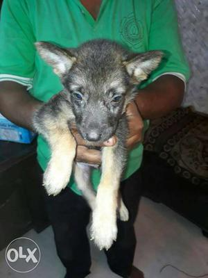 German shepherd puppies available for sale at