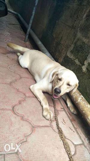 LAB Dog with Cage at asramam kollam