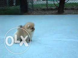 MINI POM Small And Pocket size Puppies Available Pure Breed