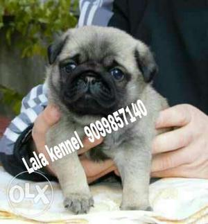Pug puppies New Lots Ready To New Home