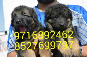 Pure breeds of dogs puppies and kittens at very
