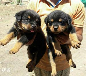 ROTTWEILER all Breeds top quality breeds security