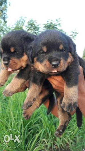 Urgent Call Superb Quality Rottweiler Male puppy