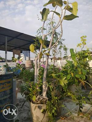 25 years old Badam(Almond) plant