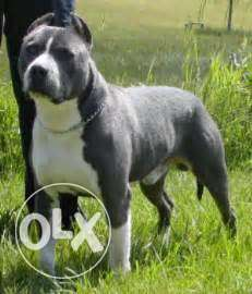 American bully an pitbull male and female puppy one month