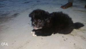 Miniature puppy for sale erode | Posot Class