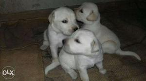 Pure Female lab for sale in Karkala