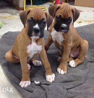 Sale Sale Top Show Qulity Boxer Puppy Available
