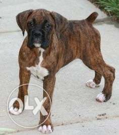 Show quality brindle boxer puppy