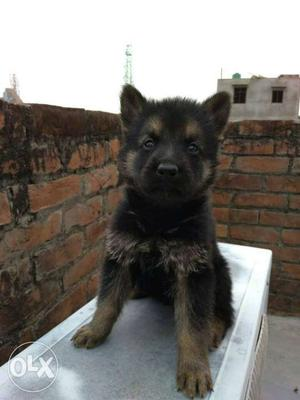 Show quality healthy German shepherd puppies ready to go