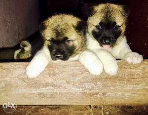 American akita pups show quality ready for new