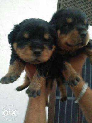 Best quality pups avalible in my farm