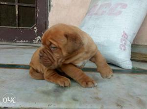 CR7 dog farm house superb quality French mastiff
