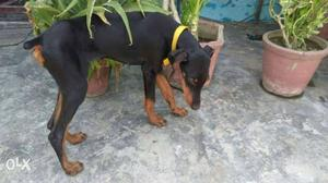 Doberman female 5 months very active call me