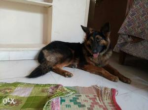 German shepherd 10 months old female Ready for selling.