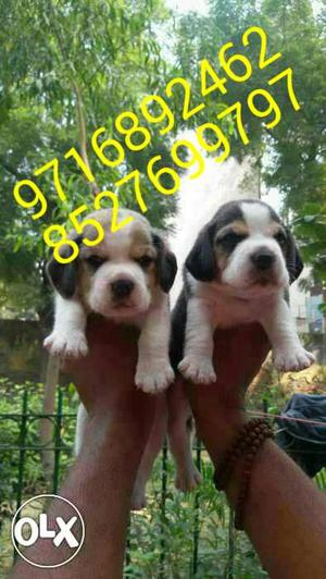 High quality BEAGLE puppies and all types of dogs