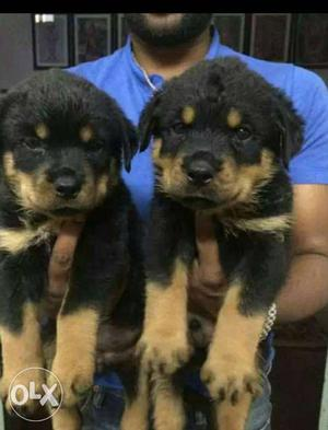 JD kennel #Rottweiler puppies ready to stock home