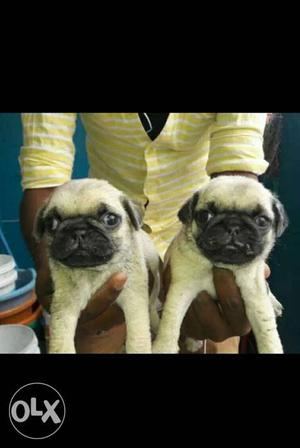 JD kennel #pug puppies ready to your home very