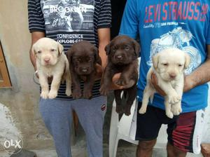 Labrador show quelety pups available at