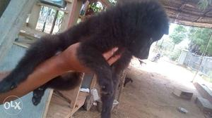 Pomeranian black color puppy for sales in chennai