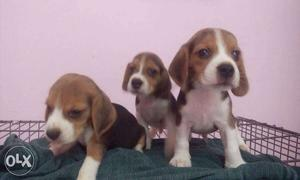 Show Quality Beagle Puppies for sale in Chennai