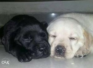 Show quality Labrador puppy available. l31