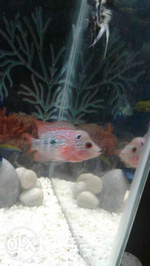 Super Quality Magma Flowerhorn fish with head