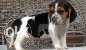 Beagle (Dogs) puppies (Dogs) black and brown color dark B