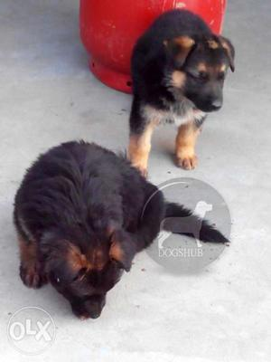 Dark (Dogs) color and (Dogs) duble coat German Shepherd